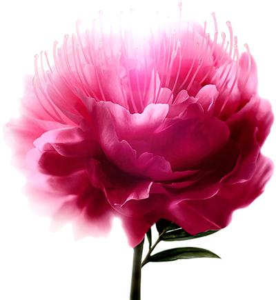 Цветок шелковой акации