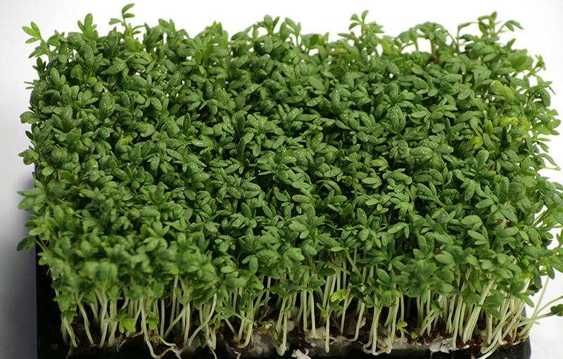 Крес-салат - одно из самых неприхотливых растений